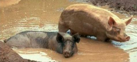 Two hogs wallow in muddy water
