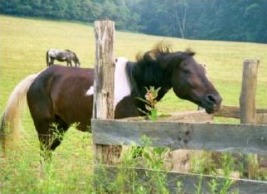 Pinto horse in pasture